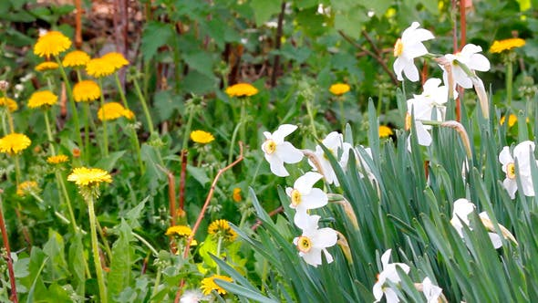 Thumbnail for Narcissus Flowers At Spring