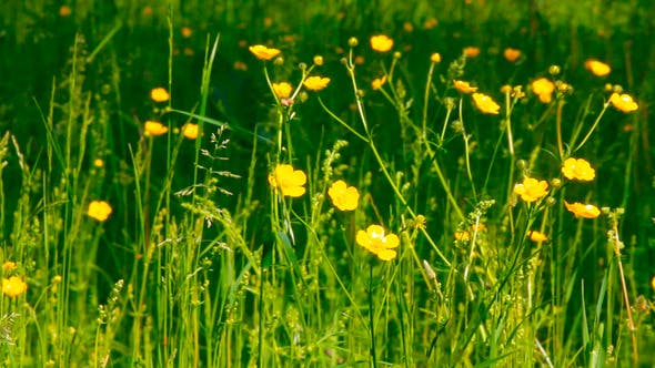 Thumbnail for Buttercup Flowers In Nature