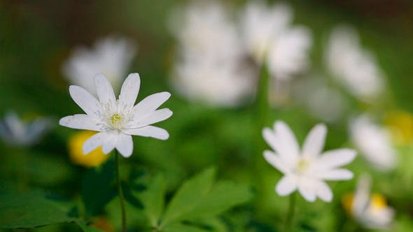 Thumbnail for Flowers Anemones In Spring Forest