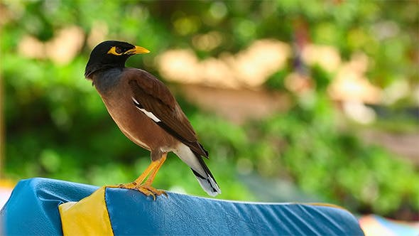 Thumbnail for Common Myna