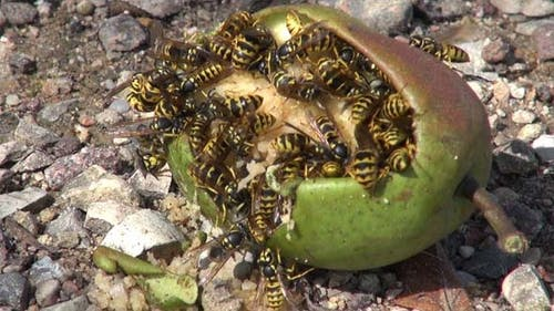 Wasps And Pear