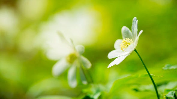 Thumbnail for White Flowers Anemones In Spring Forest