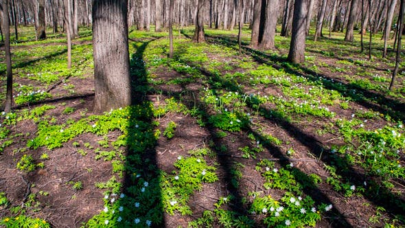 Thumbnail for Spring Forest Landscape With White Flowers