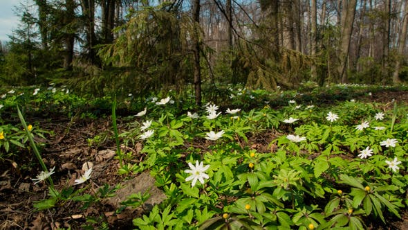 Thumbnail for White Flowers Anemones In Forest
