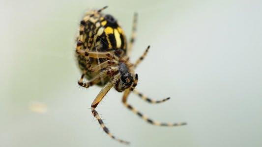 Araignée en attente