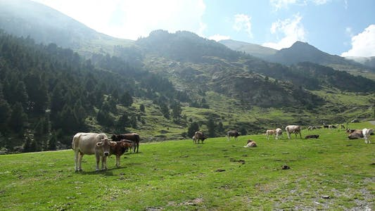 Thumbnail for Cows On High Mountain