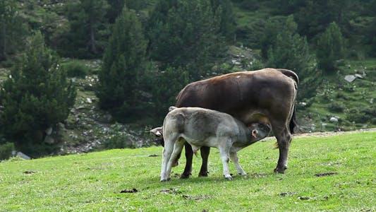 Thumbnail for Calf Suckling