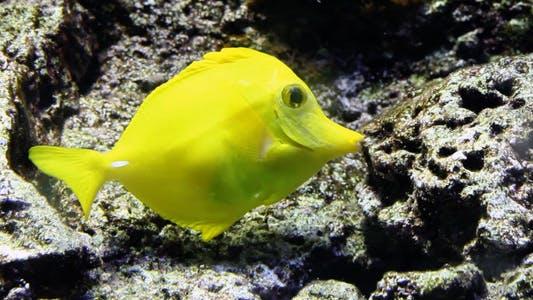 Thumbnail for Yellow Tang Fish