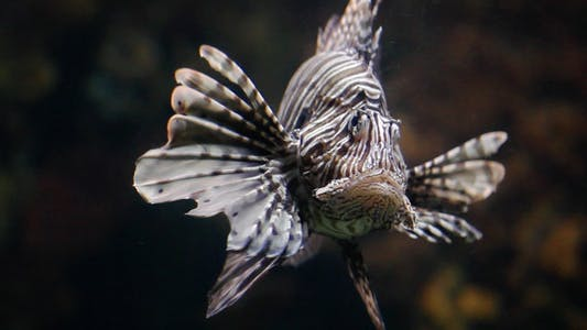 Thumbnail for Lion Fish