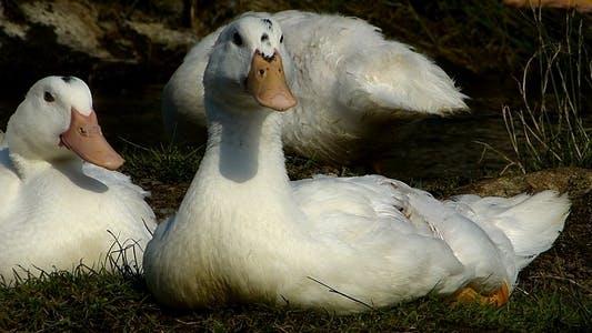 Thumbnail for Ducks 12