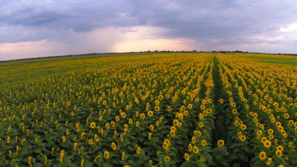 Thumbnail for Aerial View Of A Sunflower Field 1