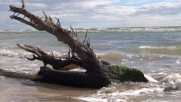 Thumbnail for Tree Washed Up On Beach