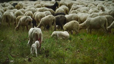 A Little Lamb And The Mother In A Flock