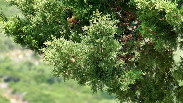 Thumbnail for Branch Cypress on Green Background 832