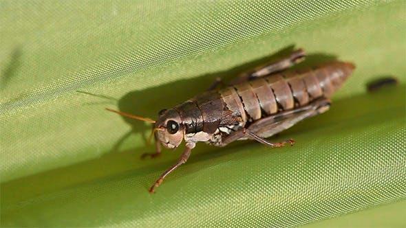 Thumbnail for Grasshopper