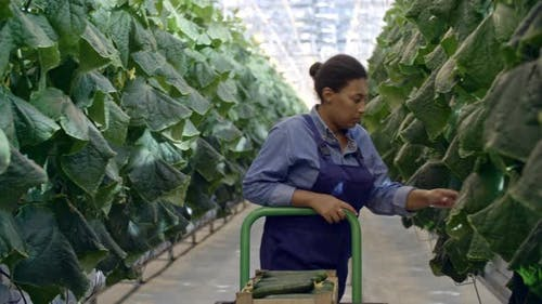 African Woman Harvesting Cucumbers in Greenhouse
