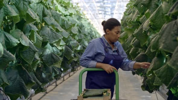 Thumbnail for African Woman Harvesting Cucumbers in Greenhouse