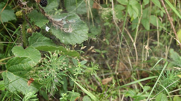 Thumbnail for Spider Attacks Prey