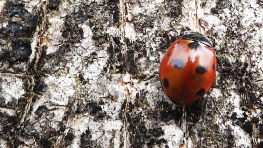 Thumbnail for Ladybug On Tree