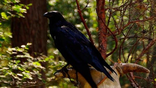 Thumbnail for Bird Raven 3