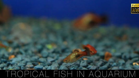 Thumbnail for Tropical Fish In Aquarium