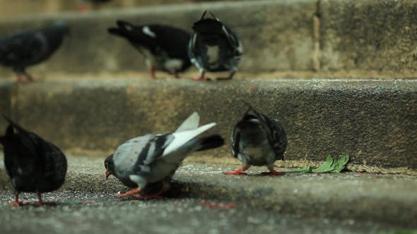 Thumbnail for Pigeons Pecking Crumbs 1 (Pack of 6)