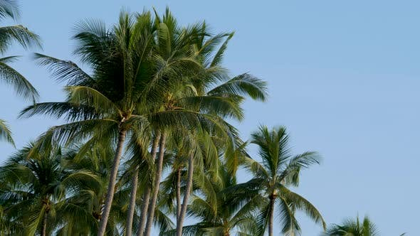 Palm Tree with Green Leaves on Blue Clear Sky No Clouds Background