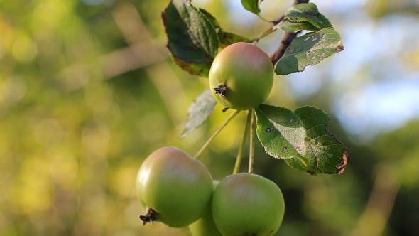 Apples On The Tree 01