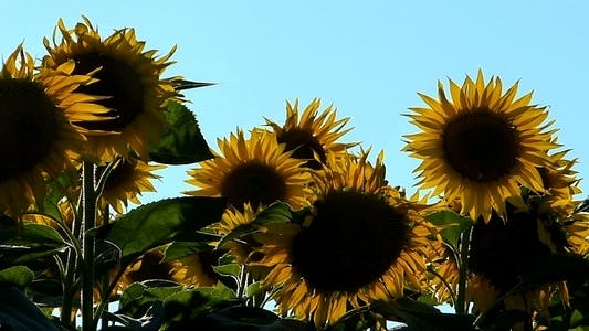 Thumbnail for Sunflowers 2