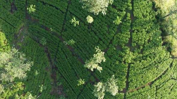 Thumbnail for Aerial View of Tea Plantations, Fields, Waterfall During Sunrise