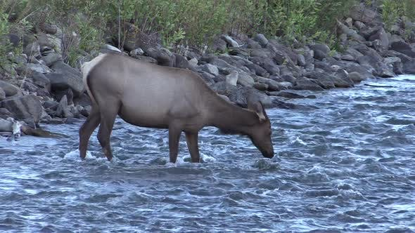 Thumbnail for Elk Cow Female Adult Lone Drinking Water in Autumn Dusk Twilight Evening River Stream