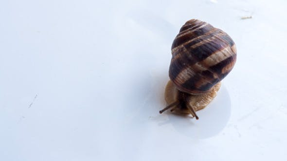 Thumbnail for Snail Crawling On A White Surface