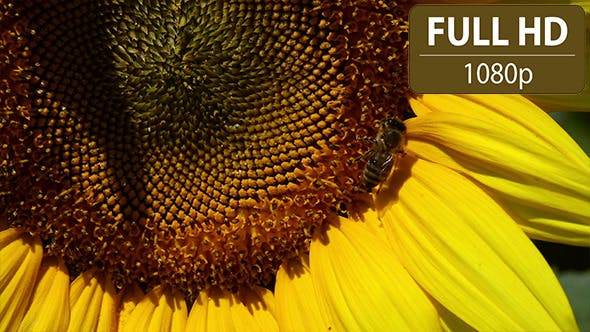 Thumbnail for Bee Hovering Over a Sunflower 2