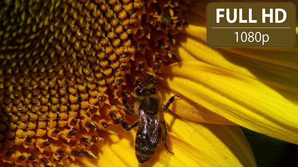 Thumbnail for Bee Hovering Over a Sunflower 1