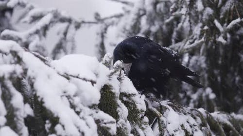 Corneille noire à la recherche de nourriture dans la neige