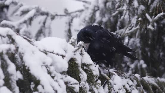 Black Crow Looking For Food In The Snow