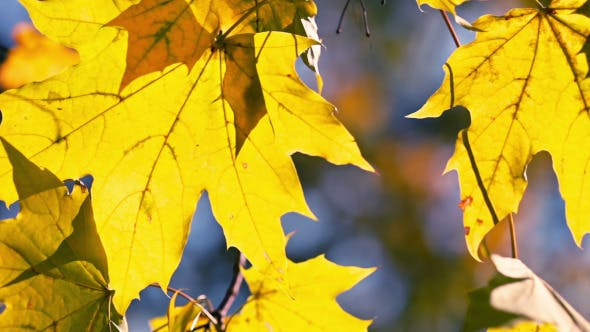 Thumbnail for Yellow Maple Leaves