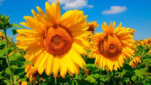 Thumbnail for Blossom Sunflowers 1
