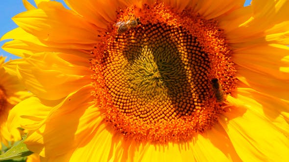 Thumbnail for Bee Pollination On Sunflower 1