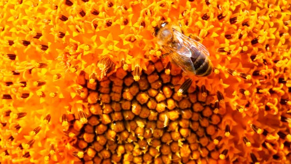 Thumbnail for Bee Pollination On Sunflower 2
