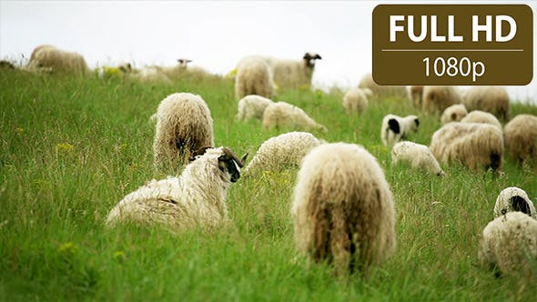 Thumbnail for Sheep Standing in the Field 1