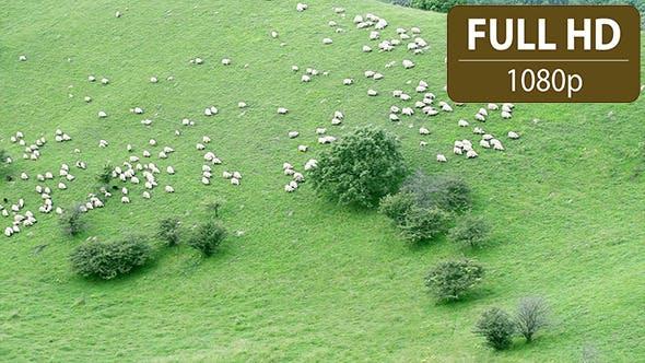 Thumbnail for Sheep Herd Walking Down a Hill 1