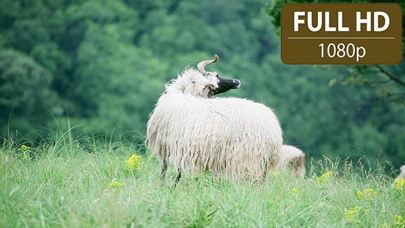 Thumbnail for Sheep Standing in the Field 2