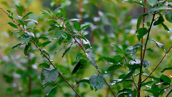 Thumbnail for Grüne Blätter unter Regen