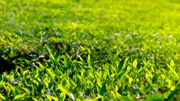 Thumbnail for Tea Plants In India 1