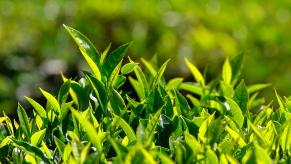 Thumbnail for Tea Plants In Munnar India 2