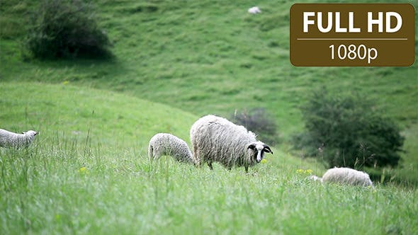 Thumbnail for Group of Sheep and Lambs Grazing in the Field 1