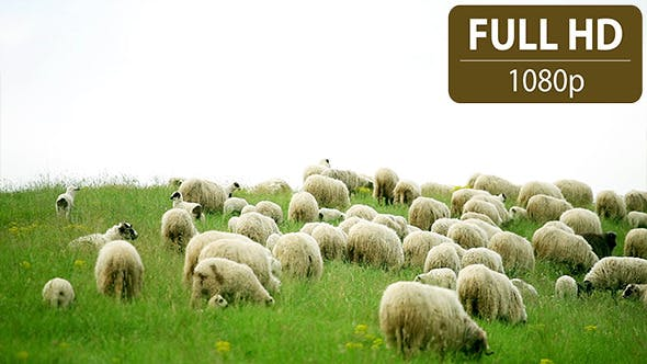 Thumbnail for Group of Sheep Grazing in the Field 2