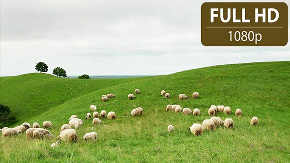 Thumbnail for Group of Sheep Grazing in the Field 4