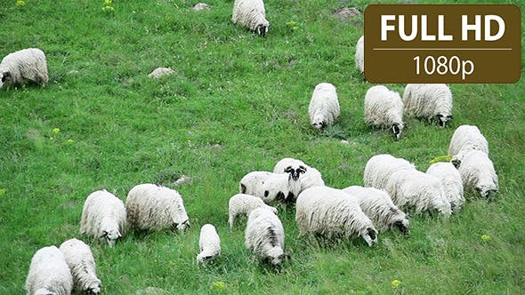 Thumbnail for Group of Sheep Grazing in the Field 6